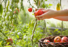 Ντομάτα: Φτωχή σε θερμίδες, πλούσια σε γεύση και θρεπτική αξία